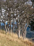White oak trees in autumn on mountain side Royalty Free Stock Photography