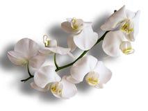 White ochids Stock Image