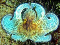 White octopus close-up Royalty Free Stock Images