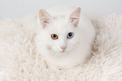 White odd-eyed cat. White cat with different colored eyes. Studio shot of an white odd-eyed cat, sitting on a cushion Royalty Free Stock Image