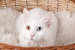 White odd-eyed cat. Studio shot of a white cat with different colored eyes. Close of an white odd-eyed cat on a cushion in wooden basket Stock Photography