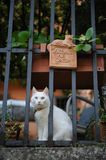 White odd-eyed domestic cat in Florence. stock images