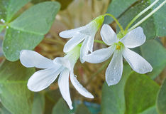 White oksalis flower Stock Photo