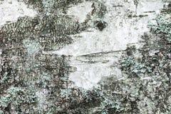 White old birch tree bark with lichen Stock Photo