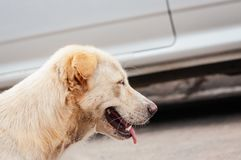 White old dog is looking something to drink in the afternoon. Because he is thirsty Royalty Free Stock Image