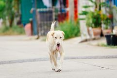 White old dog is looking something to drink in the afternoon. Because he is thirsty Royalty Free Stock Images
