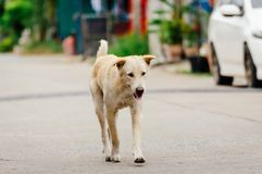White old dog is looking something to drink in the afternoon. Because he is thirsty Royalty Free Stock Photography