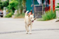White old dog is looking something to drink in the afternoon. Because he is thirsty Stock Image
