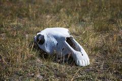 White, old skull of an animal Stock Photo