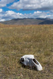 White, old skull of an animal in the field on grass Stock Image