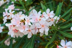 White oleander in bloom, green leaves stock photography