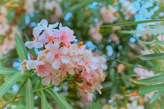 White oleander in bloom, green leaves royalty free stock photo