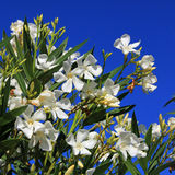 White oleander bush full bloom against royal blue sky Stock Photography
