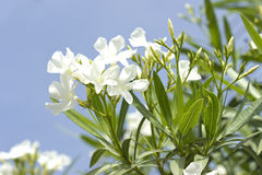 White oleander Royalty Free Stock Image