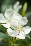 White oleander. Closeup of some white oleander flowers Royalty Free Stock Photos