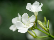 White oleander. Closeup of some white oleander flowers Royalty Free Stock Photo