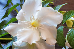 White oleander flower closeup. Stock Photography