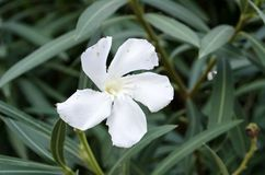 Oleander. White Oleander  flower on green leaves background Royalty Free Stock Photography