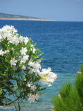White oleander flowers. With blue sea background and island with beach in the back Royalty Free Stock Images