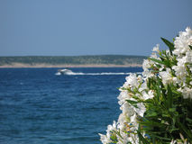 White oleander flowers. With blue sea background and island with beach in the back Royalty Free Stock Photos