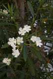 White Oleander flowers on close-up shoot Royalty Free Stock Photos