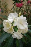 White oleander flowers Royalty Free Stock Photo