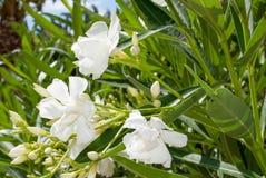 White oleander Stock Image
