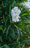 White oleander flowers with green leaves in the park royalty free stock photos
