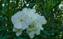 White oleander flowers with green leaves in the park royalty free stock images