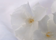 White oleander Royalty Free Stock Photography