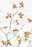 White Oncidium Dancing lady orchids Stock Photography