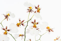 White Oncidium Dancing Lady orchids Royalty Free Stock Photo