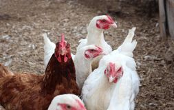 White and one brown chicken walk in the pen on the farm lay eggs royalty free stock photography