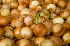 White onion bulk. In food market royalty free stock images