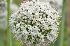 White onion flower closeup Stock Photos