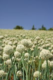 White onion flower field. Scenic view of white onion flowers blooming in field with blue sky background royalty free stock image