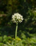 White onion flower head Royalty Free Stock Images