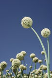 White onion flowers. And blue sky stock image