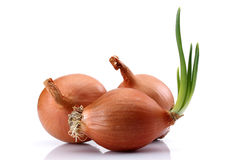 White Onion Group Royalty Free Stock Photos