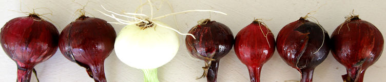 White onion among reds ones saying standing out from the crowd Royalty Free Stock Image