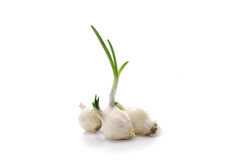 White onions. Onions for planting on a white background Stock Photos