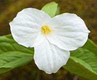 White Ontario Trillium Blooming Stock Photos