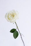 White open rose in the clear vase. One white color tea rose  with faded edges on a green stalk, on white background, vertical image Stock Photography