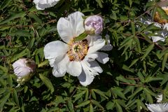 White peony with buds in the garden at noon stock photo