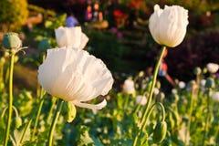 White opium flower Royalty Free Stock Photos