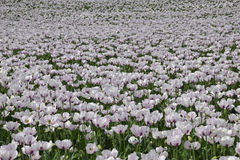 White opium poppies. A field of white poppies fading into the distance Stock Image