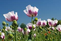 White opium poppy field Stock Photos