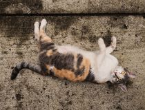 White, Orange And Gray Cat Pet Over Concrete Floor Stock Image