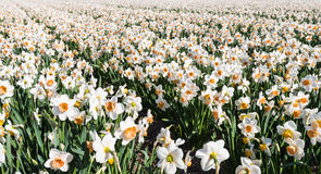 White and orange blooming Daffodils early in the morning Royalty Free Stock Images