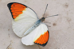 White & Orange butterfly. A white and orange tropical butterfly stock photos